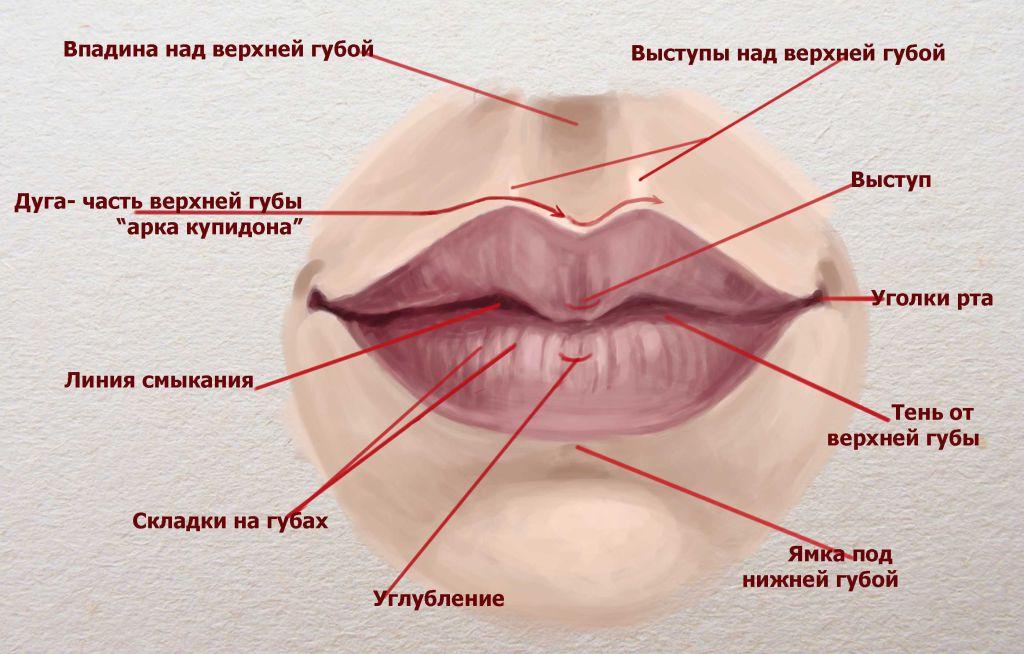 Анатомия губ