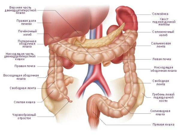 Анатомия толстой кишки