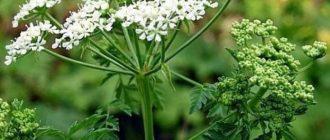 Цветение болиголова в природе