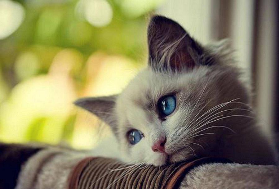 Онкология у домашних любимцев: кошки